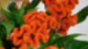 Celosia Twisted Orange.jpg