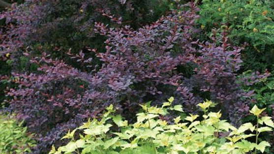 Barberry- Royal Cloak Japanese