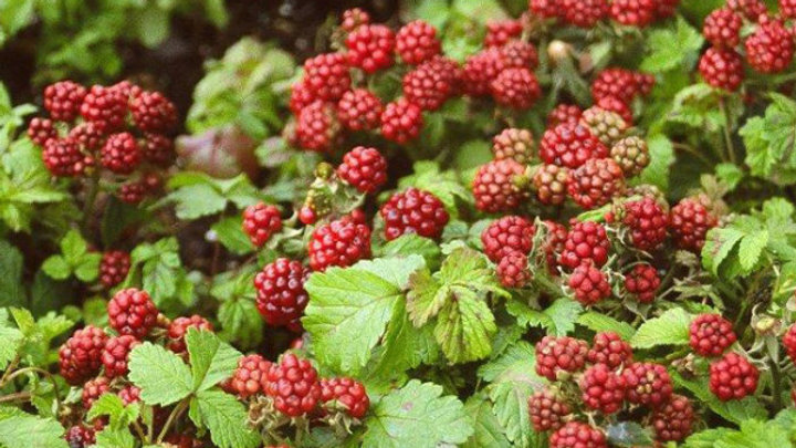 Raspberry - Groundcover - Anna