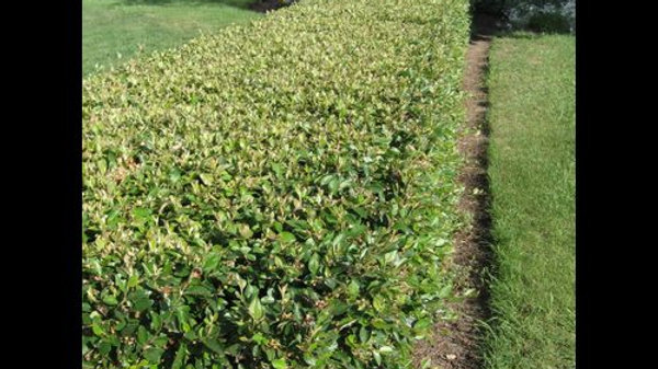 Cotoneaster- Peking/Hedge
