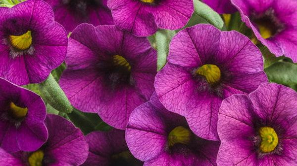 Calibrachoa Superbells - Plum