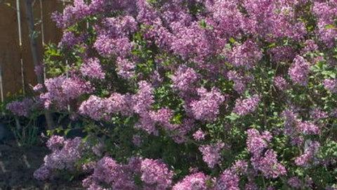 Lilac- Bloomerang Purple