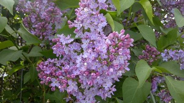 Lilac- Common