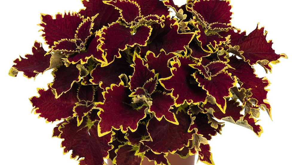 Coleus - Stained Glassworks - Crown Jewel