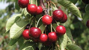 Cherry- Romeo
