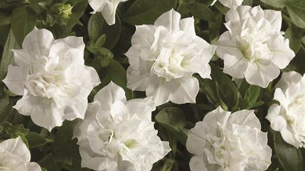 Petunia Blanket - Double White