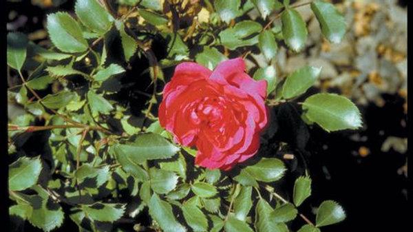 Rose- Morden Ruby