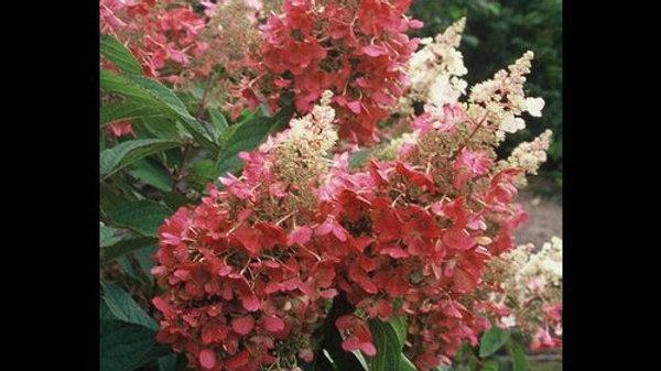 Hydrangea- Pinky Winky