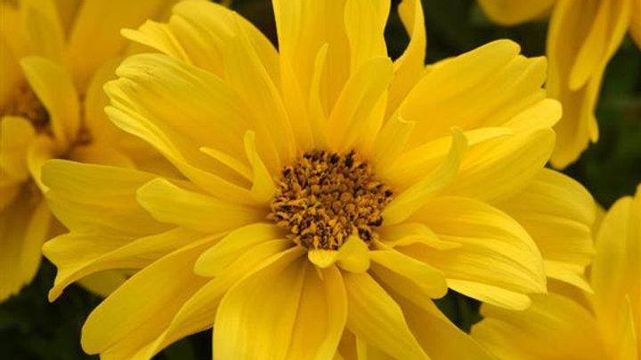 Bidens - Dbl Sundrop Yellow