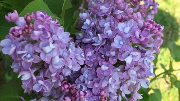 Lilac - Scentara Double Blue