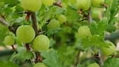 Gooseberry - Easy Pickings