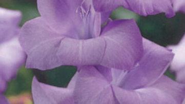 Gladiolus - Dutch - Blue Tropic