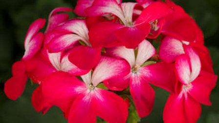 Geranium - Tango Cherry BiColor