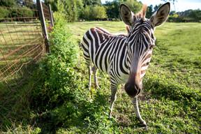 Zebra in Battery Park VA