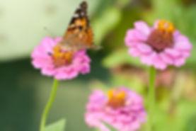 Butterfly on zinnea.jpg