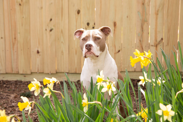Jazzy and flowers new fence 3-2019 (65).