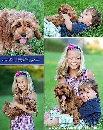 Red Cockapoo puppy adopted from Cute Cockapoos in Wisconsin