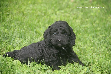 Cute Cockapoo Puppies in Wisconsin