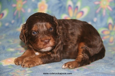 Tri-Colored Cockapoo Puppies for Sale
