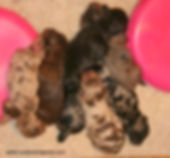 litter of Merle Cockapoo puppies from Cute Cockapoos