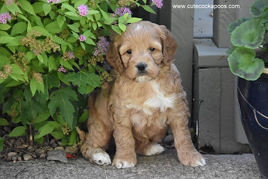 Apricot Cockapoo with white markings