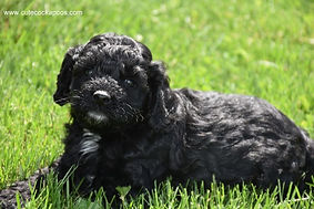 Cute Cockapoo Puppies for Sale Wisconsin
