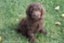 solid chocolate Cockapoo puppy