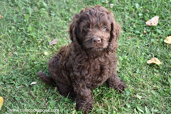 solid chocolate Cockapoo puppy