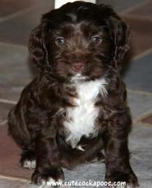 Chocolate Cockapoo White chest