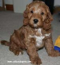 Red and White Cockapoo Puppy