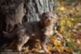Chocolate Merle Cockapoo Puppies for Sale Wisconsin