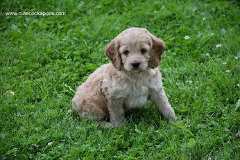 Buff Cockapoo Puppy for Sale