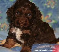 Chocolate Cockapoo Puppies for Sale Cute Cockapoos Wisconsin