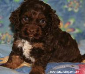 chocolate, tan, and white Cockapoo puppy
