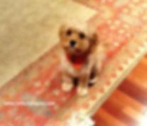 Cockapoo puppy updat