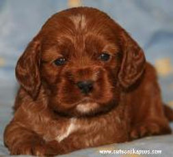 Red Cockapoo from Cute Cockapoos