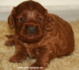 Dark Red Cockapoo Puppy