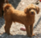 Miniature Poodle from Cute Cockapoos in Wisconsin