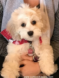 Buff and White colored Cockapoo puppy