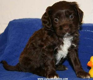 Chocolate and White Cockapoo