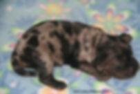 silver merle cockapoo puppies
