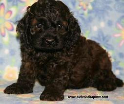 dark sable cockapoo puppy