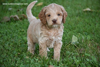 Buff Cockapoo Puppy