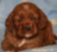 Red Cockapoo Puppies from Cute Cockapoos in Wisconsin