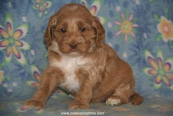 Cockapoo Puppy for Sale Cute Cockapoos