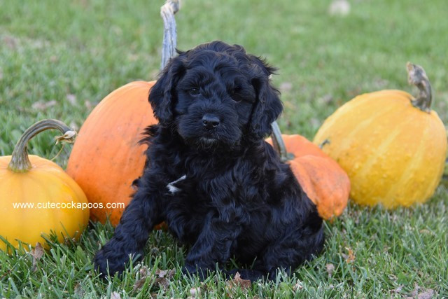 Male & Female Cockapoo Puppies for Sale in Wisconsin Cute