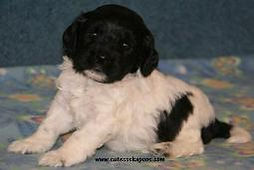 Black and White spotted Cockapoo puppy