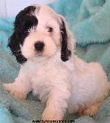Black and White Cockapoo Puppies from Cute Cockapoos