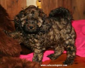 beautiful sable cockapoo