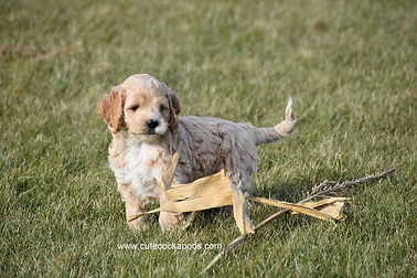 Non Shedding Cockapoo Puppies for Sale